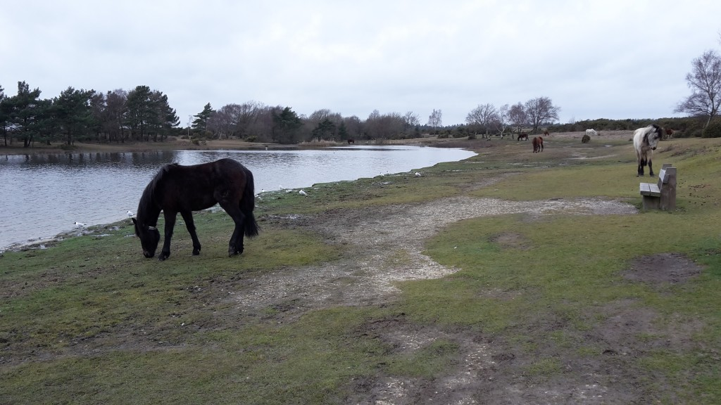 New Forest pony taking a drink