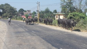 The only other traffic on the roads this day was cows!