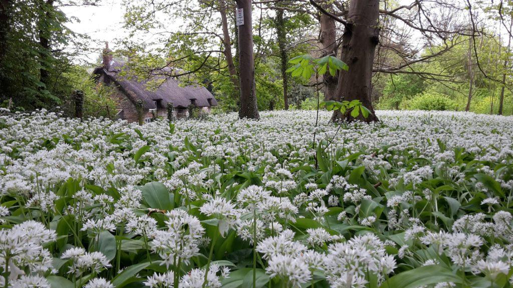Wild garlic at Shorwell