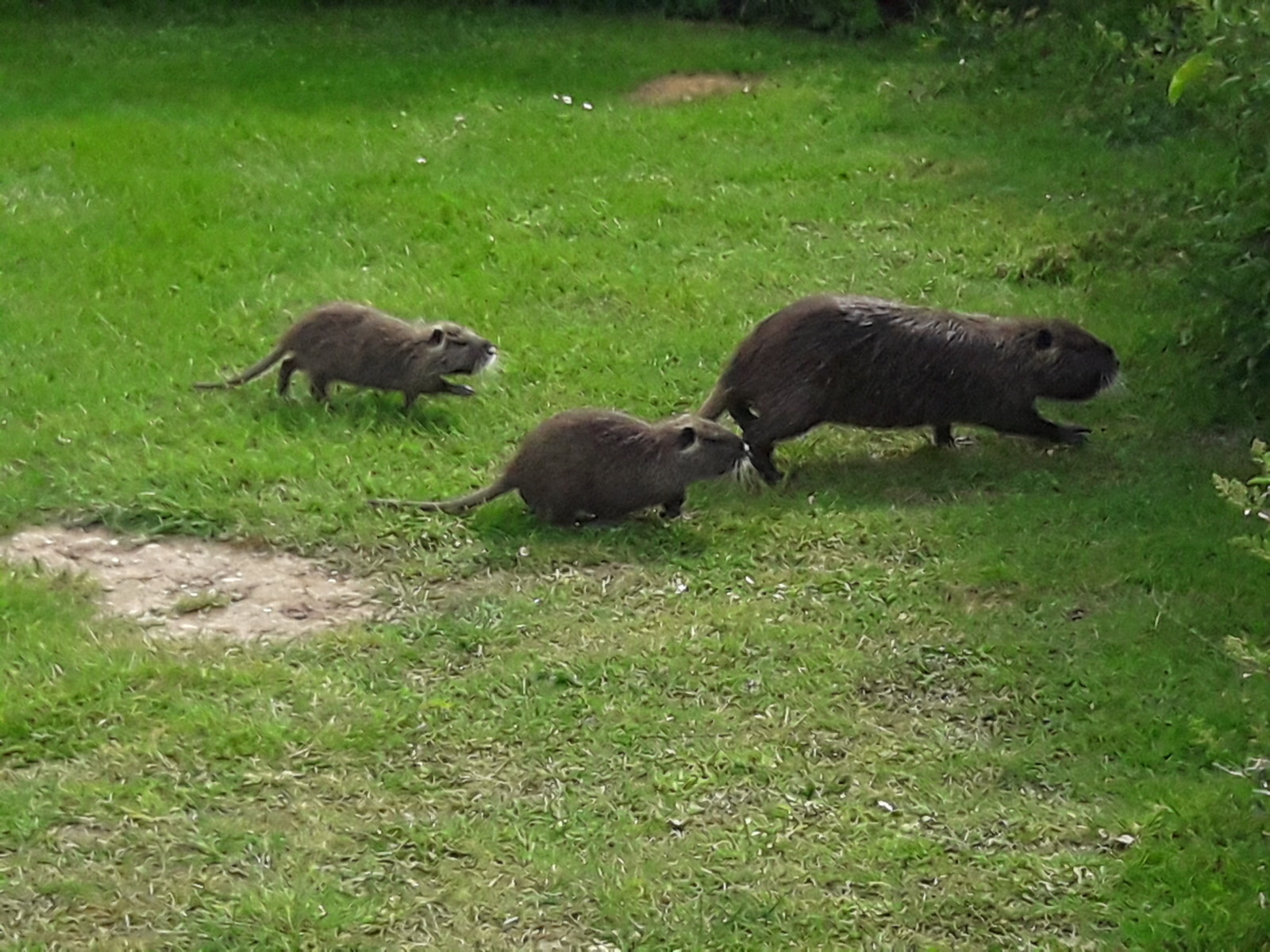 Grass otters