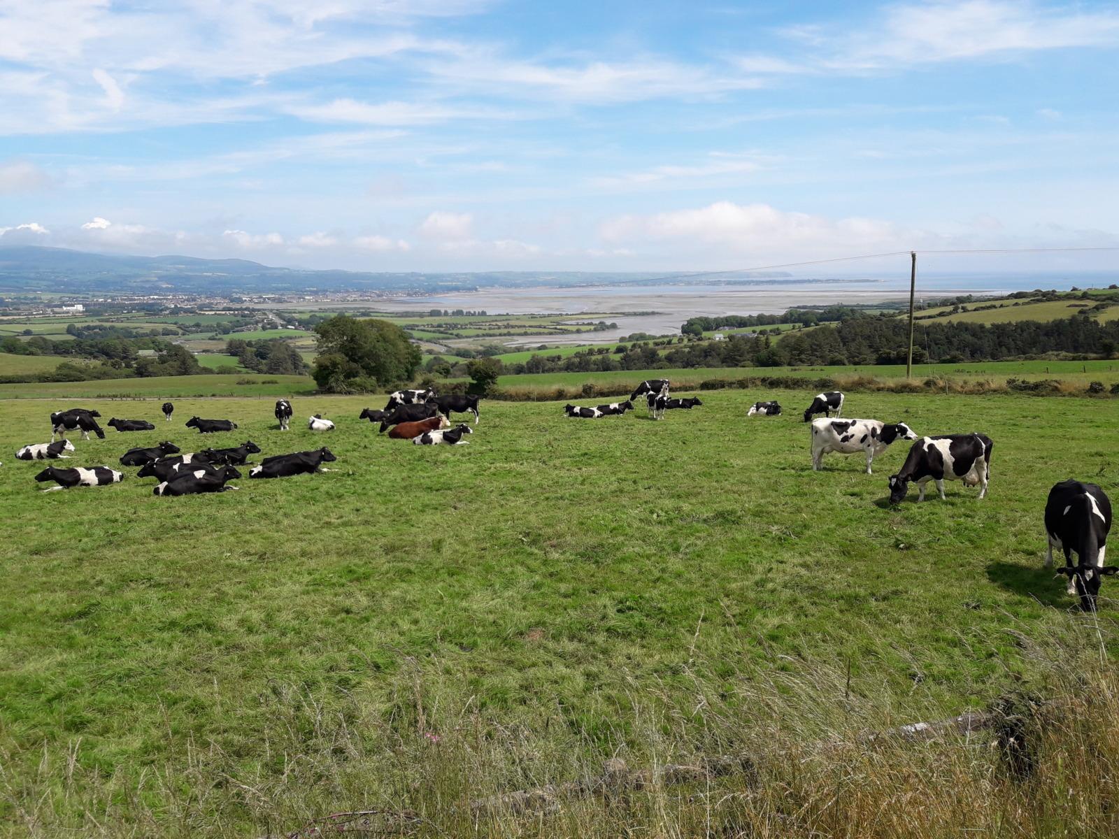 Cows fields