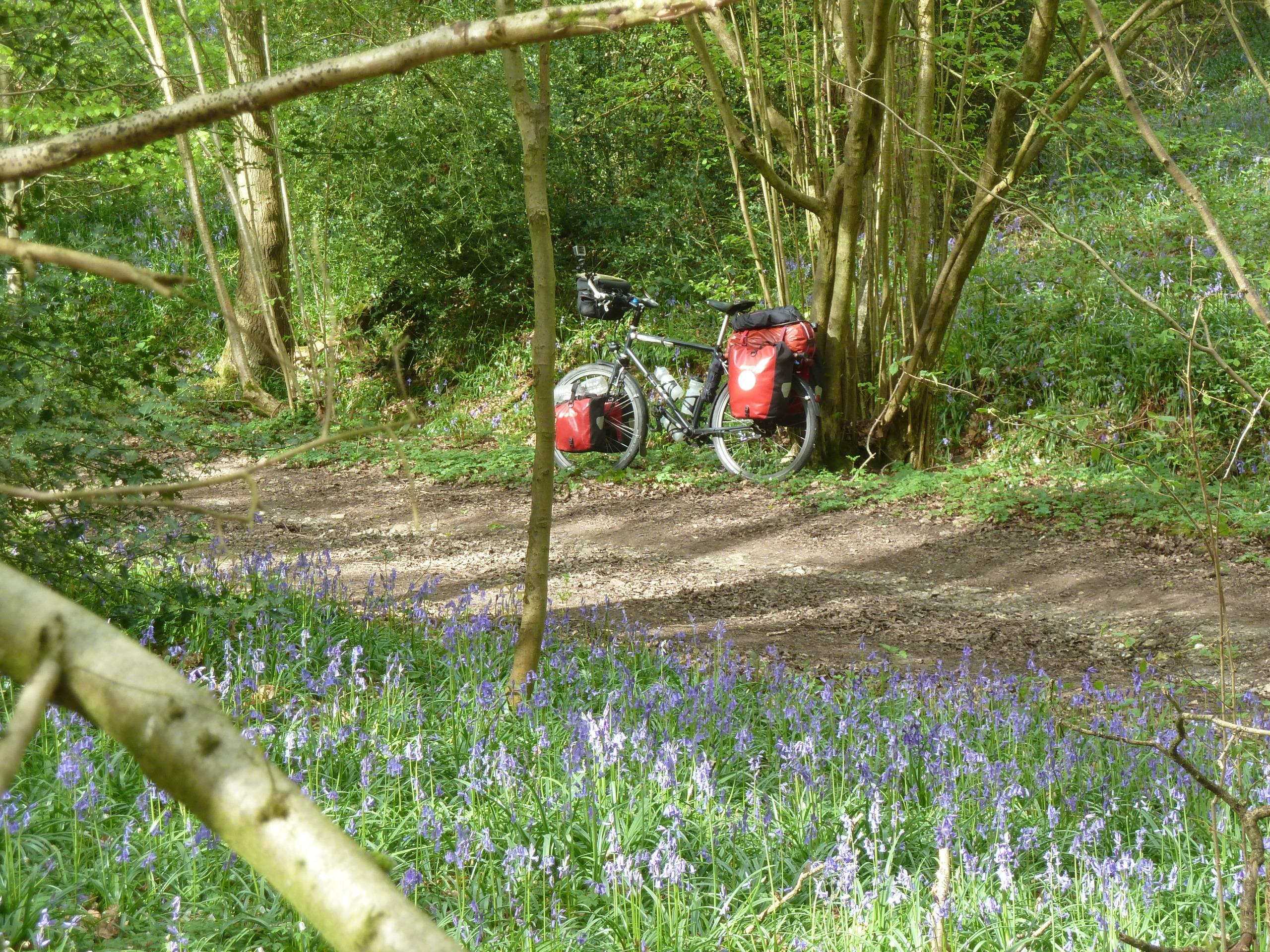 Bluebells in Selsdon Woods