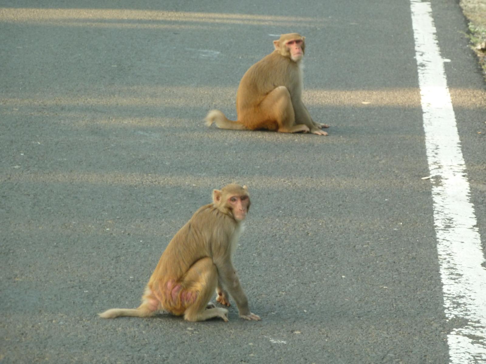 Monkeys in the road
