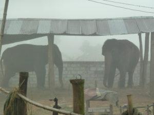 Elephants in the Chitwan national park